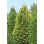 Polar Gold Arborvitae (Thuja) Live Evergreen Shrub, Yellow Foliage, 4.5 in. qt.