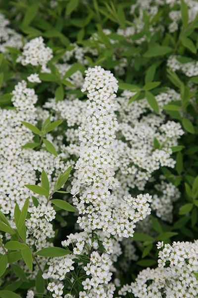 Buy bridal wreath Spiraea 'Arguta': Delivery by Waitrose Garden in association with Crocus