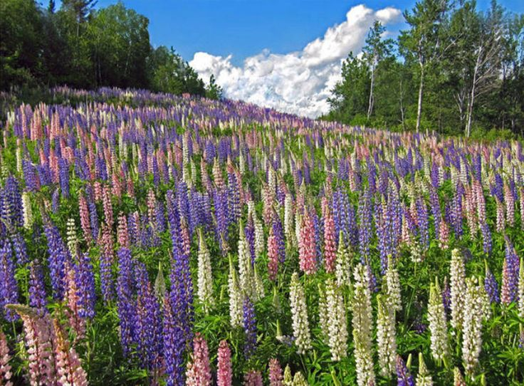Lupines like this grow wild in Minnesota along Lake Superior's north shore.