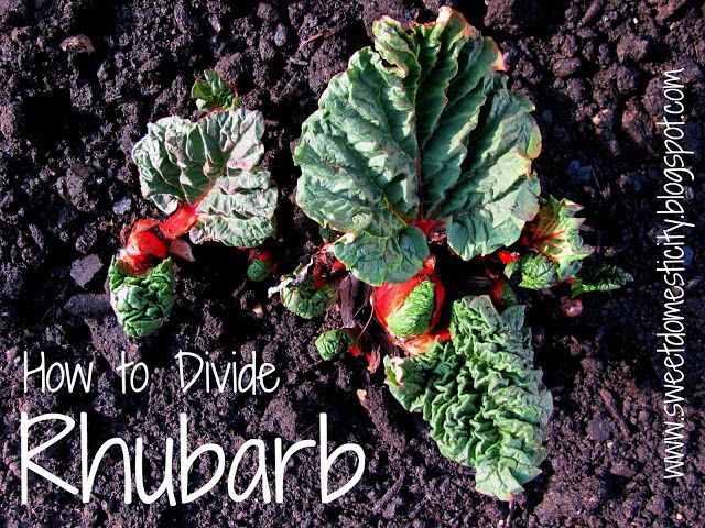 how to pick rhubarb cut or pull