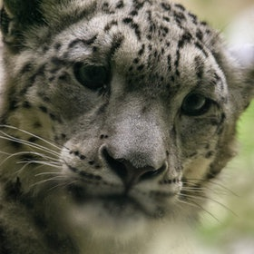 Snow Leopard, One Of My Favorite Kitties!!! I Have A Stuffed One