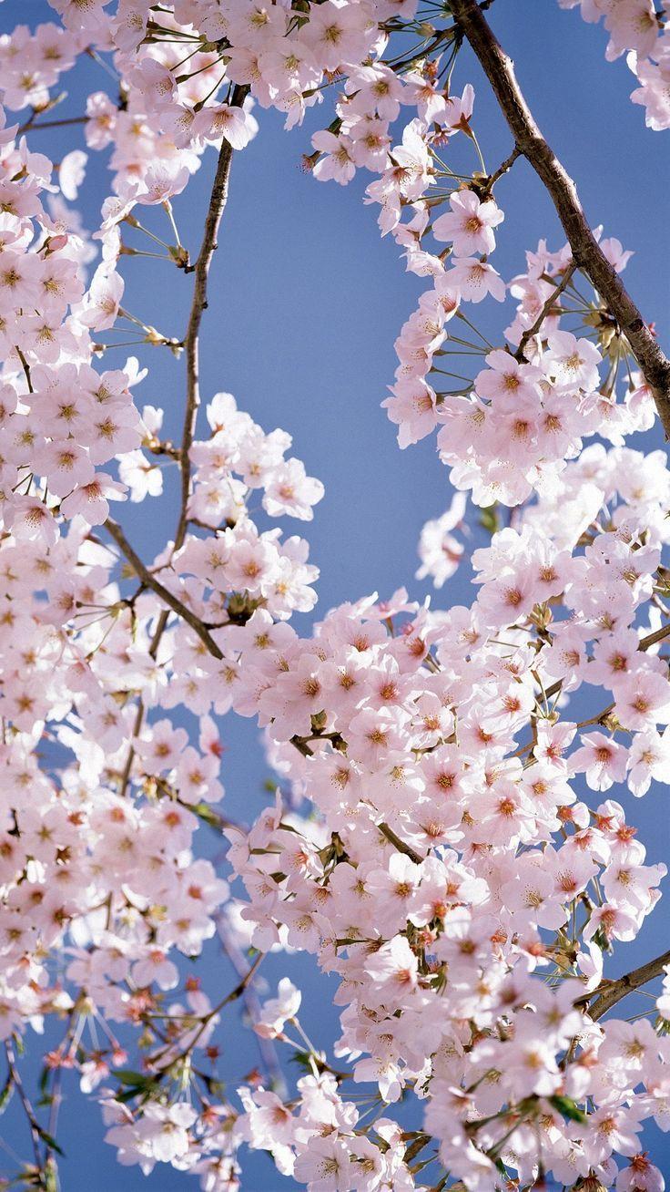 Cherry Blossoms Blooming Blooming Blossoms Cherry Cherryblossom Kirschbluten Hintergrunde Naturbilder