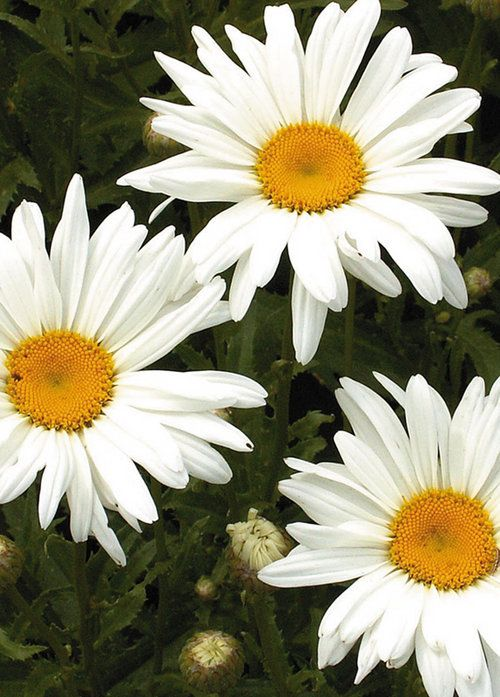 'Alaska' Shasta Daisy  Leucanthemum superbum     Zones 5-9    This Shasta daisy cultivar grows 2-3' tall on rigid stems which do not require staking. Features 3\ diameter single flower heads with the classic white rays and yellow center disks and with coarsely-toothed, lance-shaped, dark green leaves. Long mid to late summer bloom period. Excellent and long-lasting fresh cut flower. Formerly known as Chrysanthemum maximum 'Alaska.'
