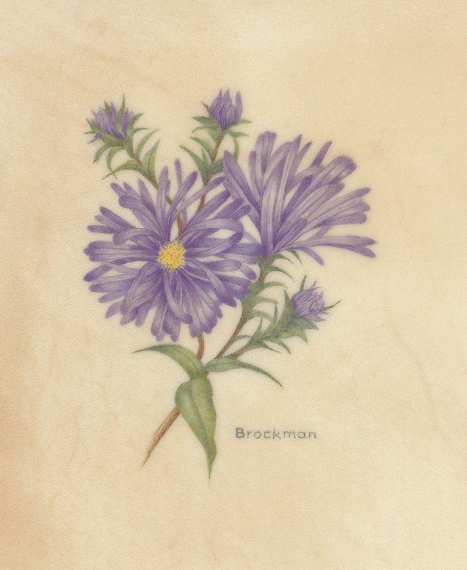 Watercolour aster....flower for September   swAster.jpg 660×805 pixels