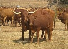 The Afrikaner Cattle Breeders' Society of South Africa