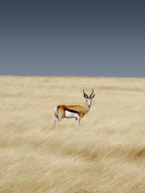 Springbok. South-Africa's national buck