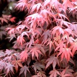Où, quand et comment planter les érables du Japon ?Erable du Japon 'Bloodgood'