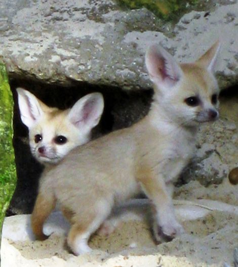 baby african foxes
