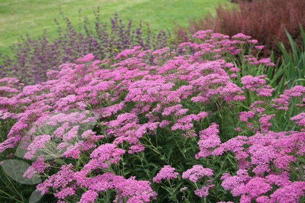 Achillea millefolium 'Lilac Beauty' Seizoen 6-8 hoogte 60 plantafstand 45