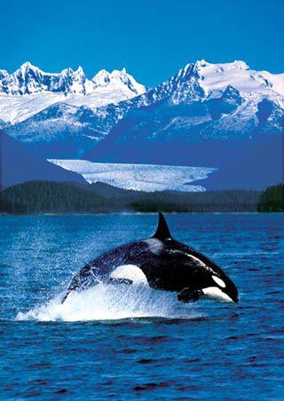 Orca in Alaskan Waters, I love Alaska