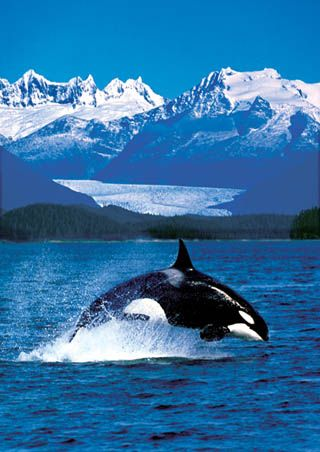 The killer whale, also referred to as the orca whale or orca, and less commonly as the blackfish, is a toothed whale belonging to the oceanic dolphin family. Wikipedia
