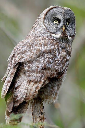 On Thursday at dusk I heard an unusually loud owl hooting in my backyard.  Although I looked I couldn't see anything.  Next day I got an alert through wild birds unlimited that a great gray owl was being spotted in Middleton.  Maybe this gorgeous bird had visited me!