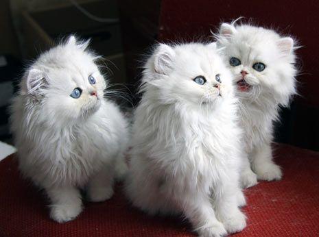 Bodar - perské stříbřité kočky a koťata na prodej