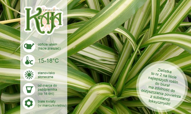 Zielistka: powszechnie znana roślina doniczkowa, bardzo często uprawiana w naszych domach. Pochodzi z Afryki Południowej i jest rośliną o dużej odporności na różnego rodzaju niedogodności: gorsze warunki świetlne, wahania temperatury, a także krótkotrwałe przesuszenie ziemi.