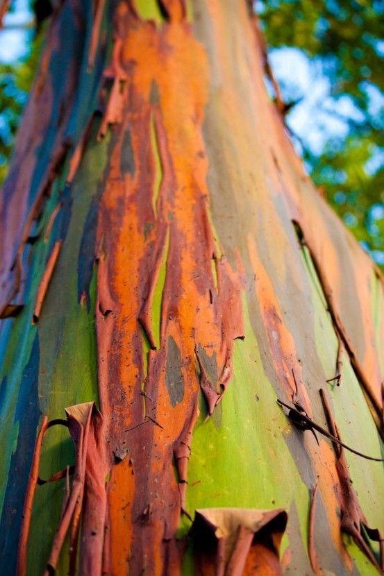 """God's Master works in wood, that paint themselves by """"unpainting"""" themselves--AMAZING. Eucalyptus deglupta aka the Rainbow Eucalyptus Tree. Love this pic because it gives you a good sense of the """"peeling paint"""" effect that unveils these trees' vivid colors."""