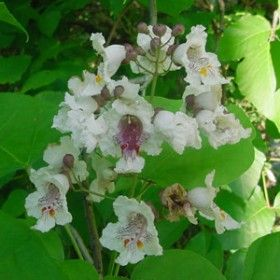 Northern Catalpa – large beautiful flowering shade tree. fast grower, for the back yard. interesting seed pods last through winter.