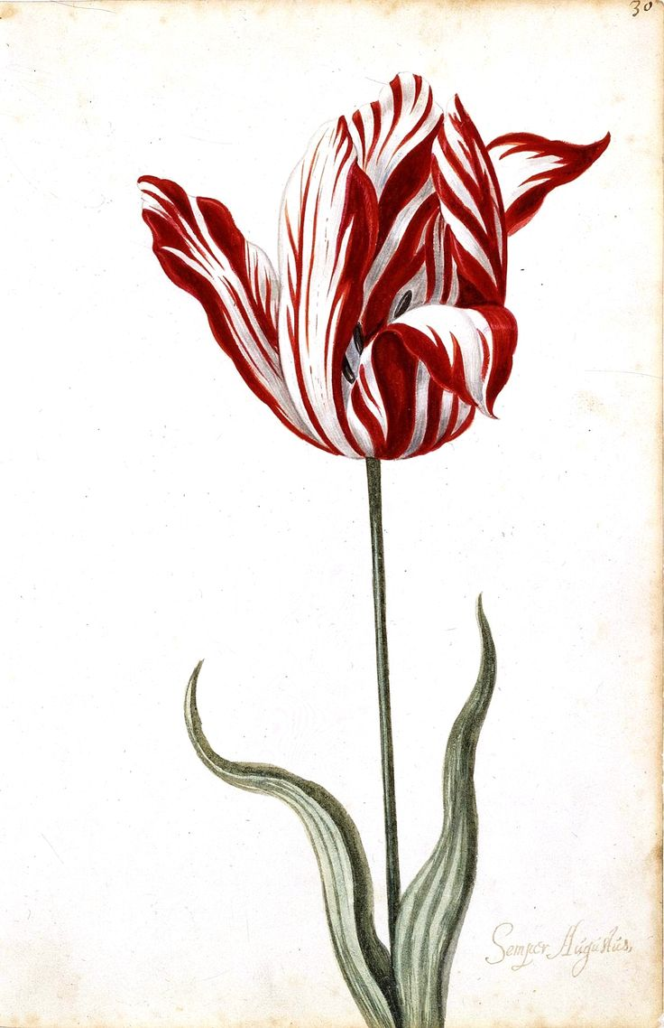 """tulip as status symbol: anonymous (dutch?) 17th-century watercolor of Semper Augustus, the most expensive tulip sold during tulip mania (watercolor from the """"Great Tulip Book"""" in collection of Norton Simon Museum)"""