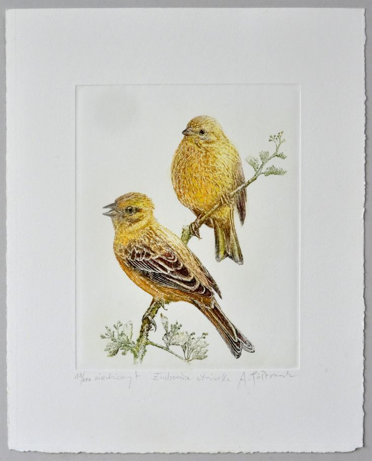 Yellowhammer (Emberiza citrinella) - handmade copper-plate engraving print home decor by AtelierPoltorak on Etsy