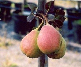 Pyrus communis 'Kustavi', Mognar i oktober. Delikatessfrukt.
