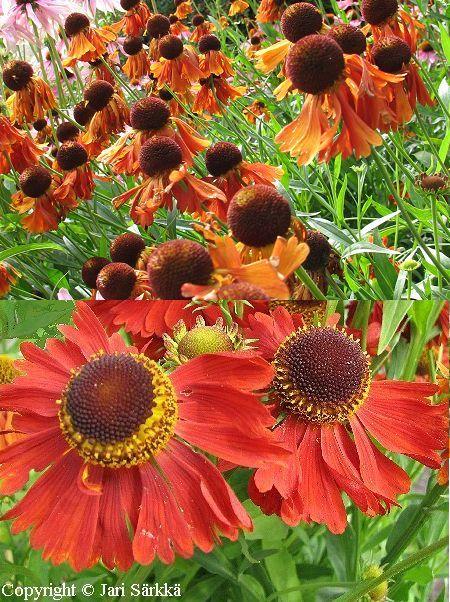 Helenium Autumnale-ryhmä 'Moerheim Beauty', syyshohdekukka