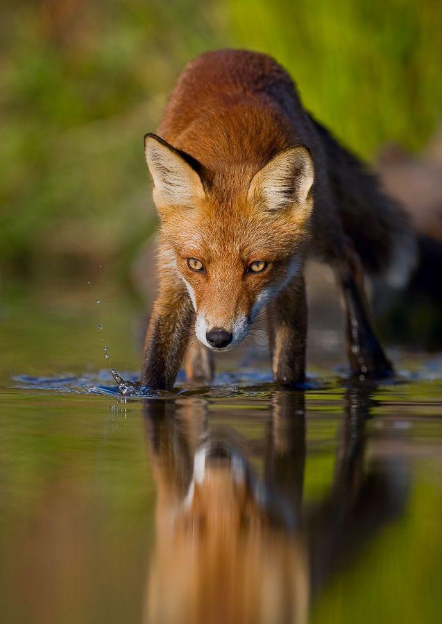Animal by Kallefinne