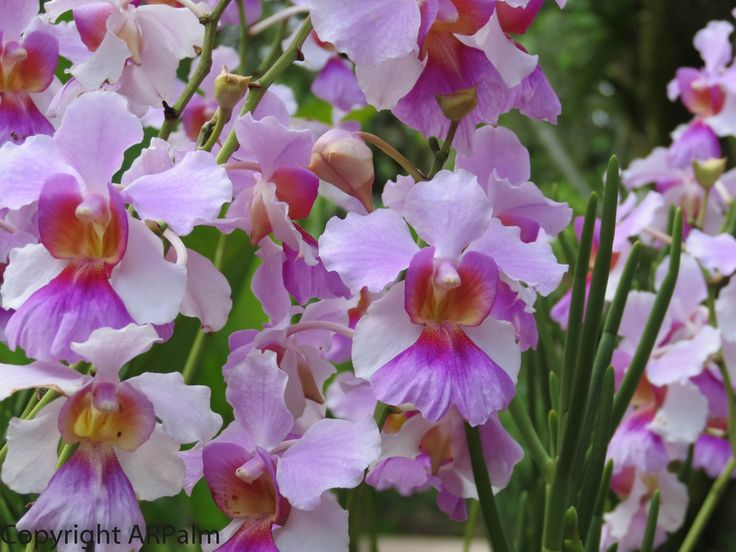 National Orchid of Singapore - Miss Joaquim