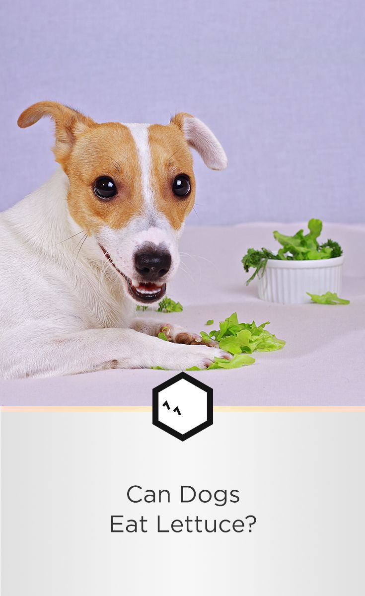 Dogs And Lettuce Benefits For Dogs Safety And Risks Dog Food Recipes Dogs Clever Dog