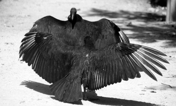 The Culture of Vultures by roamingtigress.deviantart.com on @DeviantArt
