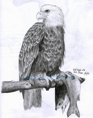 How to Draw a Eagle | ... the scanner picked up the skull and eagle head sketch behind LOL