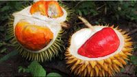 gambar buah durian merah