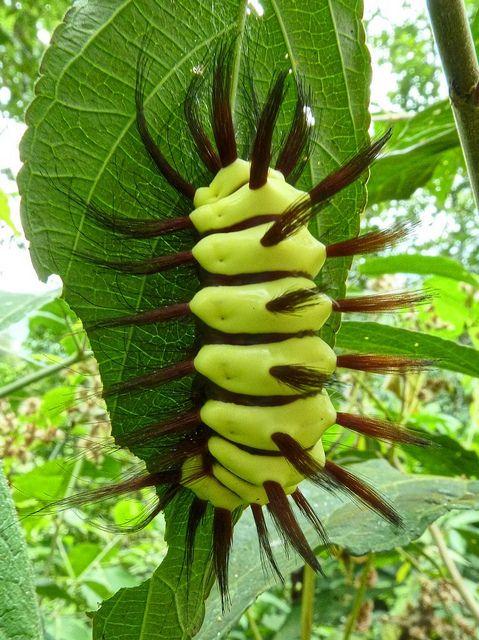 Stinging Flannel Moth Caterpillar, Megalopyge lanata   Flickr - Photo Sharing! www.nbcbirdandpestcontrol.co.uk