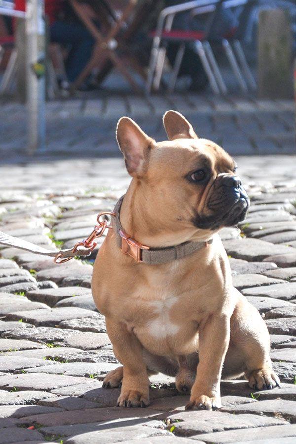 Franzosische Bulldogge Mit Freudentier Halsband Franzosische Bulldogge Tiere Bulldogge
