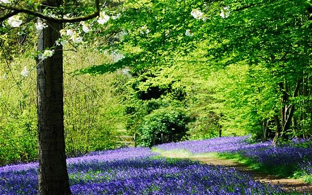 The 245 Best Images About Bluebell Woods Etc On Pinterest National Trust Terry O 39 Quinn And