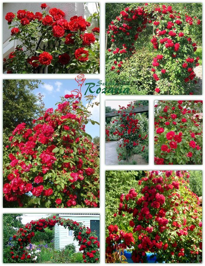 róże pnące Sympatia
