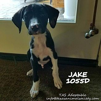 Pictures of Jake a Border Collie for adoption in Spring, TX who needs a loving home.