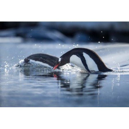 Antarctica Anvers Island Gentoo Penguins diving into water Canvas Art - Paul Souders DanitaDelimont (35 x 23)