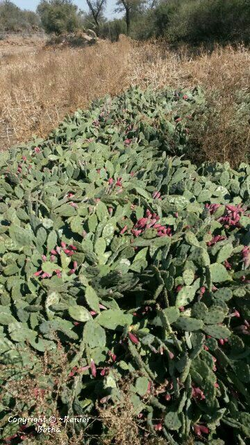 Beautiful cactus..... captured by Renier Botha..... on farm outside Koppies
