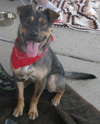 Bart (aka Gunner) is an adoptable German Shepherd Dog Dog in Schaumburg, IL. Bart is a very friendly, happy dog. His tail never stops wagging. He weights about 55 pounds. Bart loves other dogs and people. He is st...