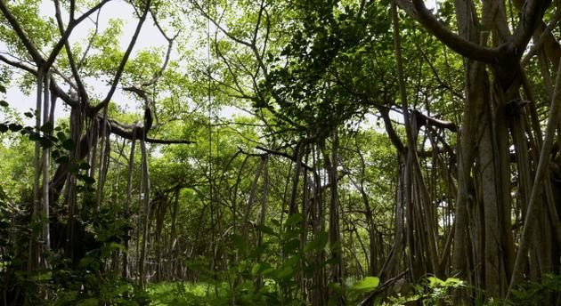 Growing with age: (Left) The Great Banyan today resembles a mini forest