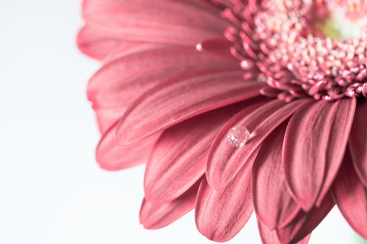 Pink Gerbera Flower With Sparkling Drop Photograph by Nadezhda Tikhaia #NadezhdaTikhaiaFineArtPhotography #ArtForHome #HomeDecor #Gerbera #Pink #InteriorDesign #FineArtPrints
