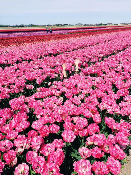 tulip fields | designlovefest