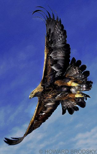 Golden Eagle by Howard Brodsky on Flickr