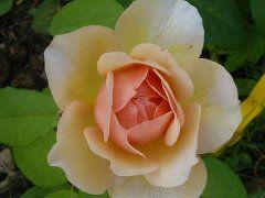 Вот такие розы можно выращивать в Ленинградской области