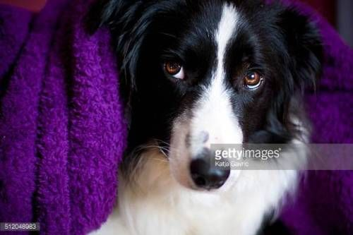 07-25 Border collie cuddled up in a fluffy purple towel.... #kastav: 07-25 Border collie cuddled up in a fluffy purple towel.… #kastav