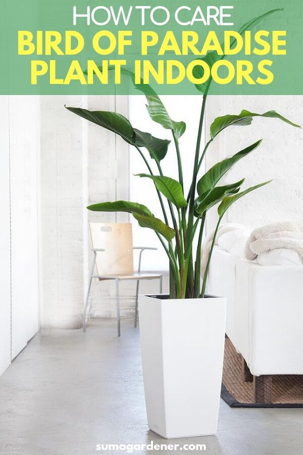 Learning How To Take Care Of A Bird Of Paradise Plant Indoors Is Quite Simple With The Proper Sunli Paradise Plant Birds Of Paradise Plant Large Indoor Plants