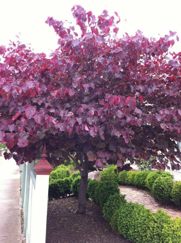 Cercis canadensis 'Forest Pansy' | Details of the Plant | TGA Australia