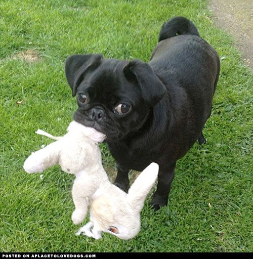 Best Pug Black Adorable Dog - 823058dc0c493fd9719edfc0e9d07d8c--follow-me-black-pug  Perfect Image Reference_16519  .jpg
