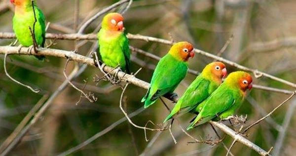 Sarang Lovebird Di Alam Liar