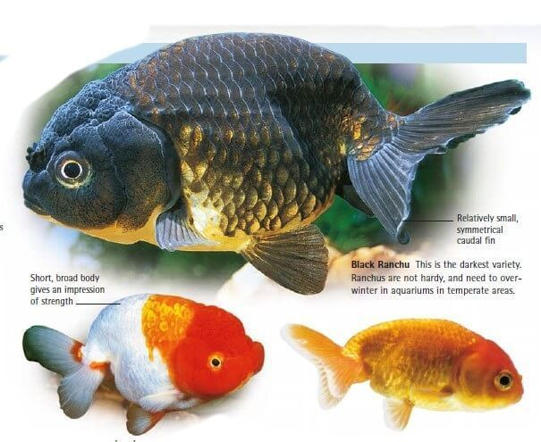 15 Awesome Different Types Of Goldfish With Pictures 2019