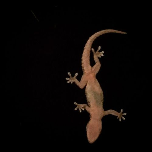 Gecko on the outside of our window. What an awesome little guy!...